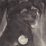 Московский длинношерстный той терьер 150x150 - Собаки чёрно-белые