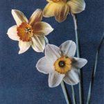 Нарциссы 1 150x150 - Цветы