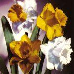 Нарциссы 2 150x150 - Цветы
