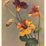 Настурция 1 150x150 - Цветы