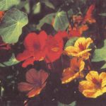 Настурция 2 150x150 - Цветы