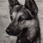 Немецкая овчарка 1 150x150 - Собаки чёрно-белые