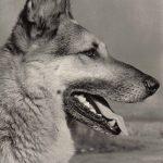Немецкая овчарка 2 150x150 - Собаки чёрно-белые