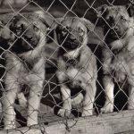 Немецкие овчарки 150x150 - Собаки чёрно-белые
