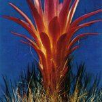 Неочиления волосистая 150x150 - Цветы
