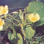 Нимфейник щитолистный 150x150 - Цветы