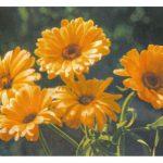 Ноготки 1 150x150 - Цветы