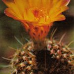 Нотокактус изящный 150x150 - Цветы