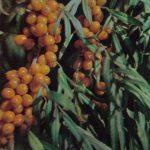Облепиха 150x150 - Различные растения