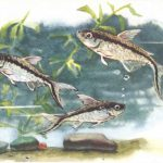 Обликва 150x150 - Аквариумные рыбки