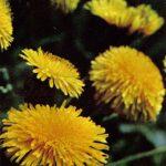Одуванчики 150x150 - Цветы