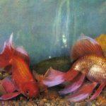 Оранда 150x150 - Аквариумные рыбки