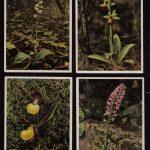 Орхидеи на открытках 0002 150x150 - Цветы