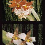 Орхидеи на открытках 0021 150x150 - Цветы