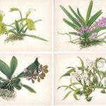 Орхидеи на открытках 0025 150x150 - Цветы