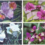 Орхидеи на открытках 0046 150x150 - Цветы