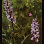Орхидеи на открытках 0068 150x150 - Цветы