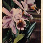 Орхидеи на открытках 0071 150x150 - Цветы