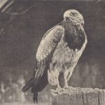 Орёл 150x150 - Птицы