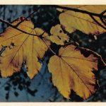 Осенние листья 150x150 - Различные растения