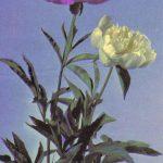 Открытка № 0015 150x150 - Цветы