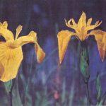 Откр. № 022 150x150 - Цветы