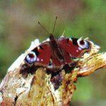 Павлиний глаз  150x150 - Бабочки