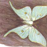 Павлиноглазка Артемида  150x150 - Бабочки