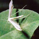 Пальцекрылка пятипалая  150x150 - Бабочки