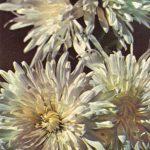 Папаха 150x150 - Цветы