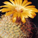 Пародия изменчивая 2 150x150 - Цветы