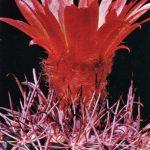 Пародия майранская 150x150 - Цветы