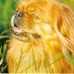 Пекинес  150x150 - Другие животные