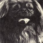 Пекинес 150x150 - Собаки чёрно-белые