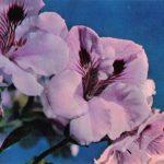 Пеларгония гибридная 150x150 - Цветы