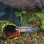 Пельматохромис крибензис 150x150 - Аквариумные рыбки