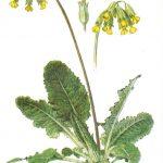 Первоцвет лекарственный 150x150 - Цветы