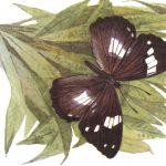 Переливница Шренка  150x150 - Бабочки