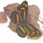 Пеструшка Тисба  150x150 - Бабочки