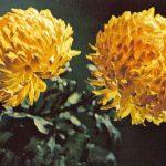 Петанг 150x150 - Цветы