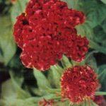 Петушиные гребешки 1 150x150 - Цветы