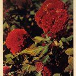 Петушиные гребешки 2 150x150 - Цветы
