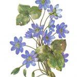 Печёночница перелеска 150x150 - Цветы