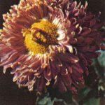 Пигмалион 150x150 - Цветы