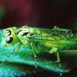 Пилильщик 150x150 - Прочие насекомые