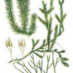 Плаун булавовидный 150x150 - Различные растения