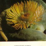 Плейоспилос болюза 150x150 - Цветы