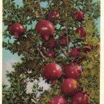 Плоды гранатового дерева 150x150 - Различные растения