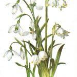 Подснежник белоснежный 150x150 - Цветы