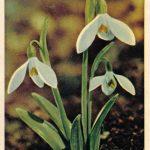 Подснежник белый 150x150 - Цветы